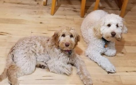 Mya and Danny the labradoodles belong to Dani Means.